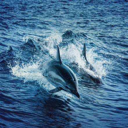 Swimming dolphins2